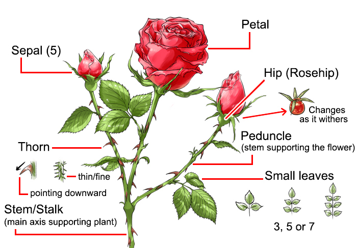 How To Draw A Rose Art Rocket