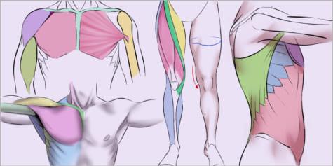 [인체 그리기] 근육의 이해