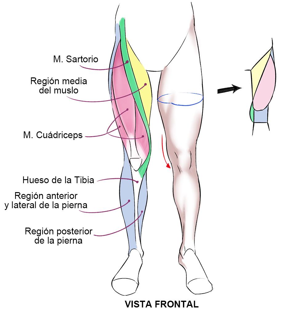 Músculos Del Cuerpo Humano Art Rocket